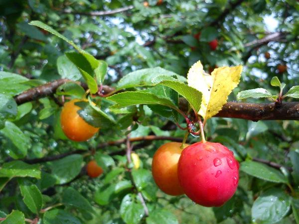 Mirabelle plum trees